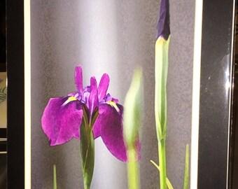 Purple Iris - Matted Print 11 x 14