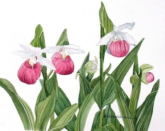 Pink Lady Slipper Watercolor Reproduction by Wanda Zuchowski-Schick