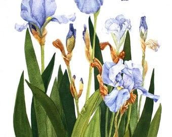 Iris Notecards Set of Six Watercolor Painting Reproductions