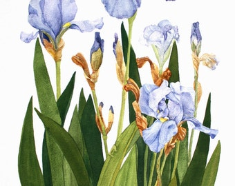 Purple Iris from my Garden Watercolor Reproduction
