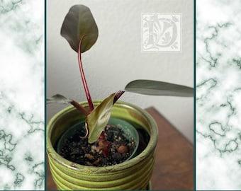 Philodendron 'Bloody Mary' aka 'Dark Majesty'