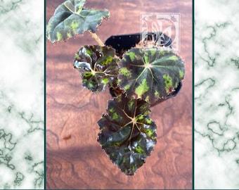 Begonia 'Tiger Kitten'