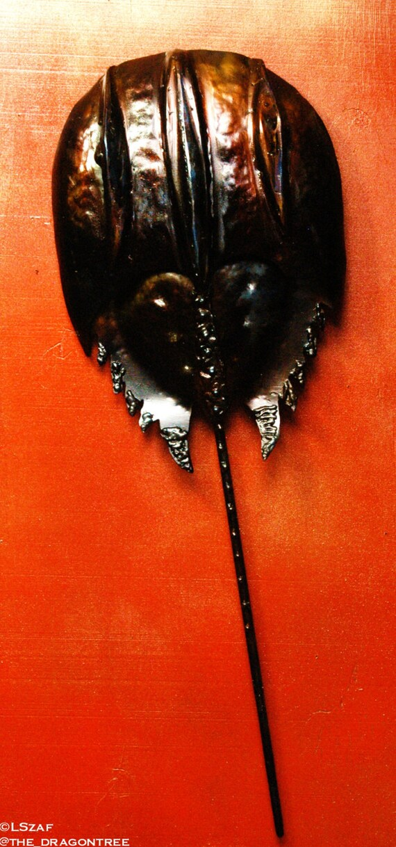 Medium Size Wall Sculpture - Horseshoe Crab - Custom Order for Karyn Iannaccone as discussed