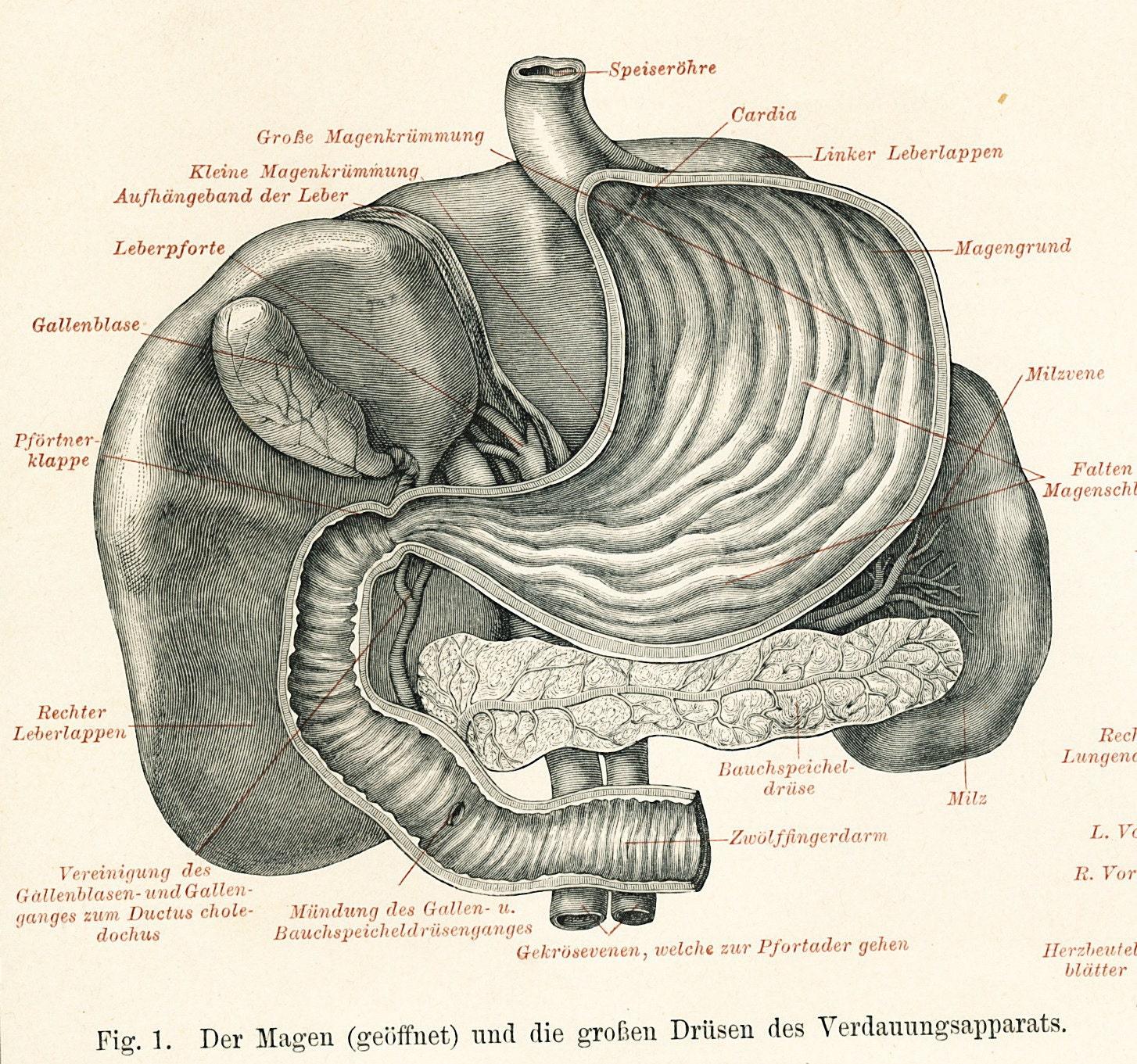Druck Magen-Darm drucken menschlichen inneren Organe Druck | Etsy