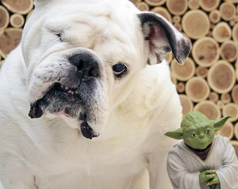 YODA and ENGLISH BULLDOG Photo, Cute Rescue Dog Photo, Piper The One-eyed Painting Bulldog with a Yoda action figure, Toy Yoda - 5x7 or 8x10