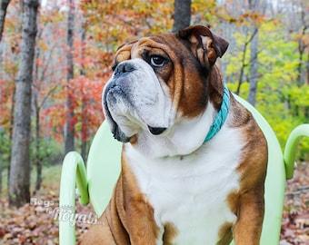 RESCUED English BULLDOG PHOTO, Registered Therapy Dog Mr. Miyagi is fighting cancer, Beautiful English Bulldog with autumn leaves