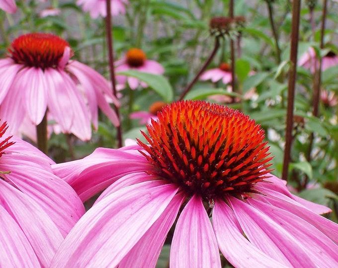 Echinacea Root,  Echinacea purpurea, Certified Organic,  1 oz.