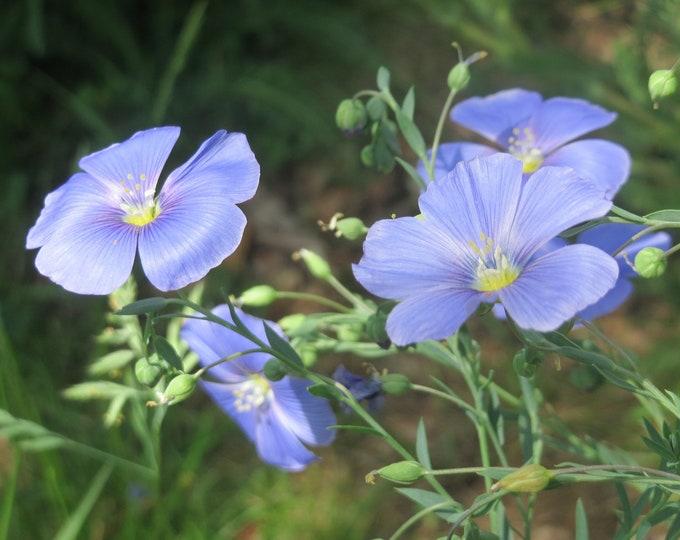 Flax Seed, Linum usitatissimum, Certified Organic, 1 oz.
