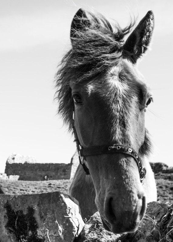 "18"" x 12"" Irish Nature Photograph of a windblown Connemara Pony"