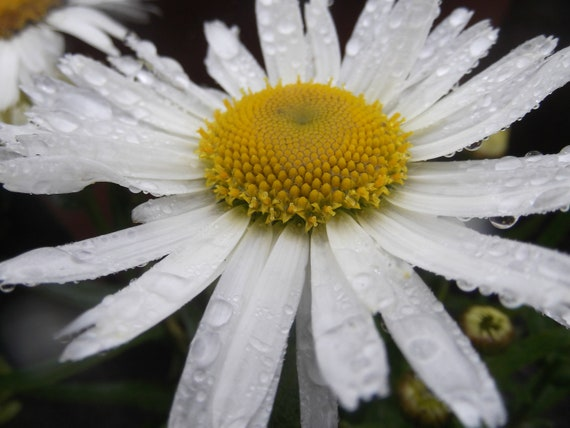 """Flower Photography,Fine Art Photography,Nature Photograph,Nature Print,Daisy Photograph, Irish Daisy in the rain 16"""" x 20 """""""
