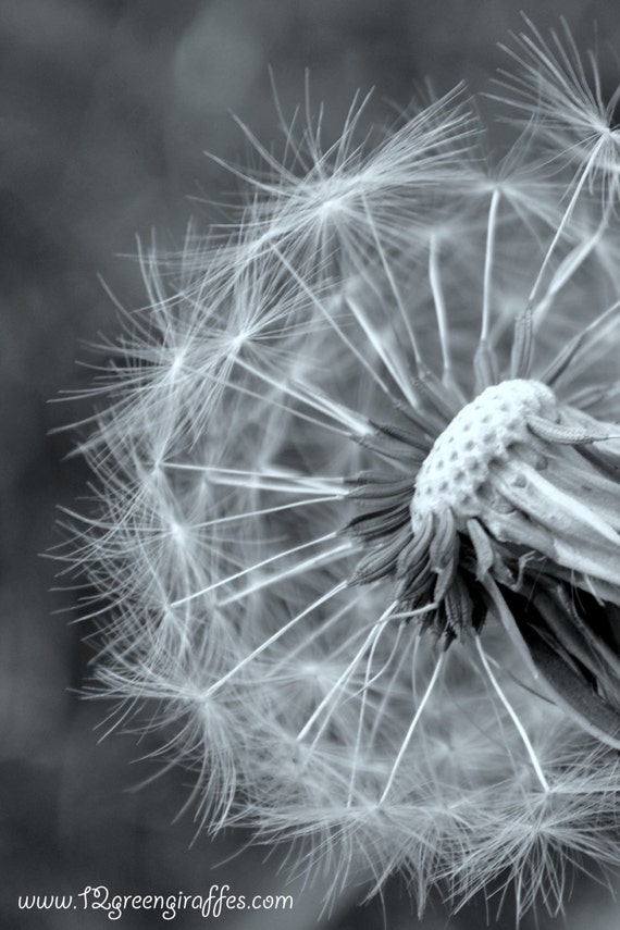 """Flower Photography,Fine art photography,Nature Photography,Nature Print, Flower print, Dandelion photograph in spring 18"""" x 12"""""""
