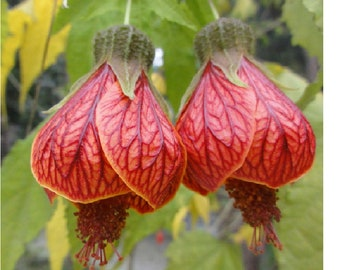 Lantern Hanging,Flowers Red/Blue Seeds  , Qty 20 Seeds