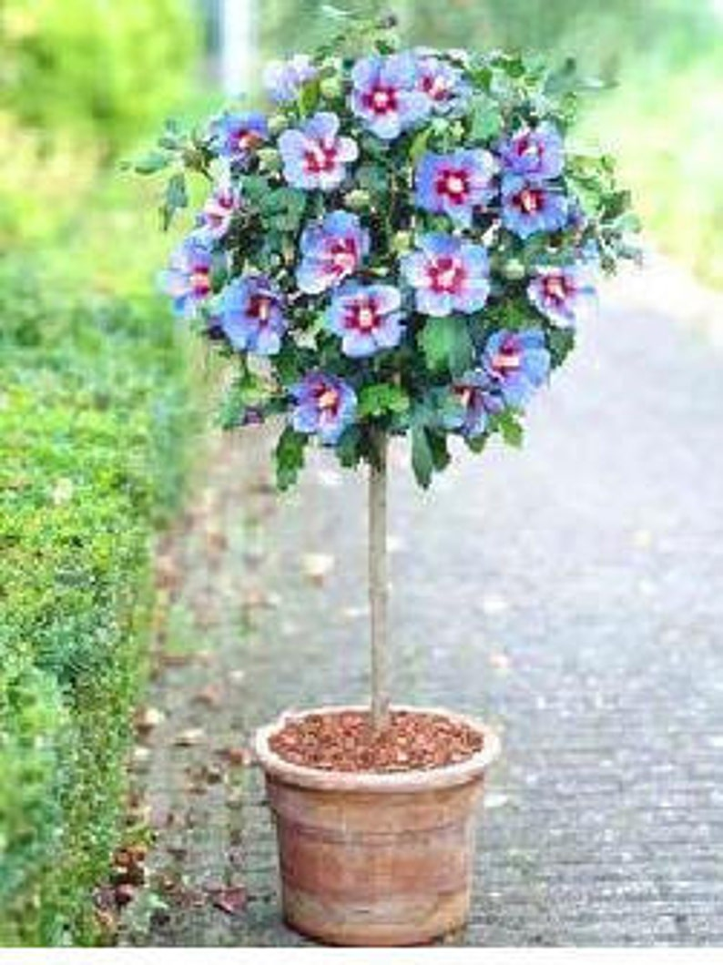 Hardy Hibiscus Flowers Tree Seeds Color Blue Qty 20 Seeds Etsy