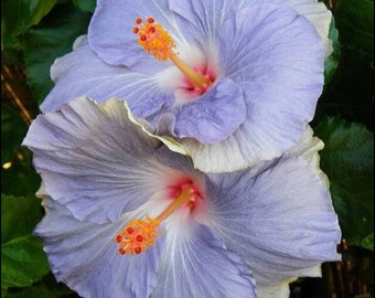 Blue Hibiscus Flower, Qty 20 Seeds