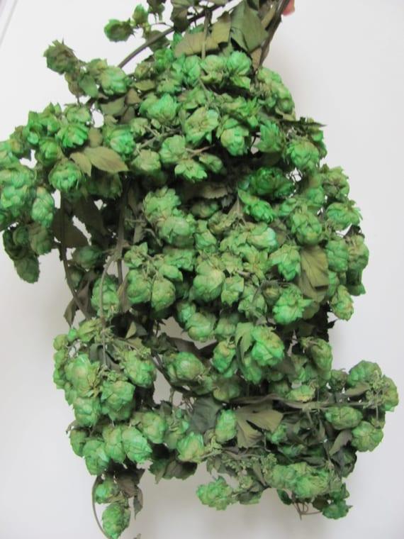 Hops Preserved, 4 Ounce Hops Bunch, Hops  Ideal for Floral Arrangements,  DIY Bride Bouquets and Boutonniere