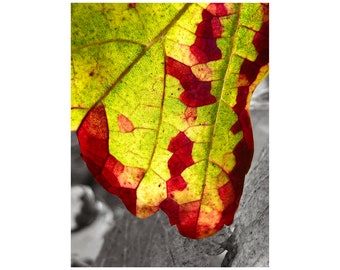 Autumn Leaf Photo, Burgundy, Lime Green, French Vineyard, Grape Leaf, Macro Photography