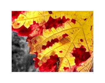 Autumn Leaf Photo, Honey Gold, Burgundy, Macro Photography, French Vineyard