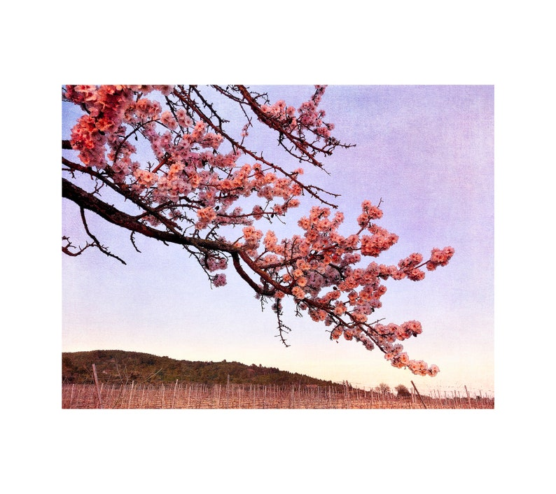 Almond Tree Sunset Photo South of France Flower Blossoms image 0