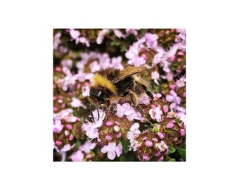 Busy Bee Photo, Flowering Thyme, Wild Herbs, Macro Photography, Gift for Gardener