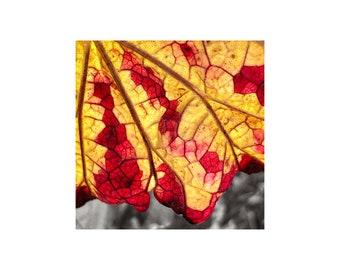 Autumn Colors Photo, Liquid Gold, Wine Red, Grape Leaf, Macro Photography