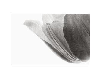 Translucent White Tulip Photo, Home Decor, Macro Photography, Flower Petals, Dove Gray Slate Grey