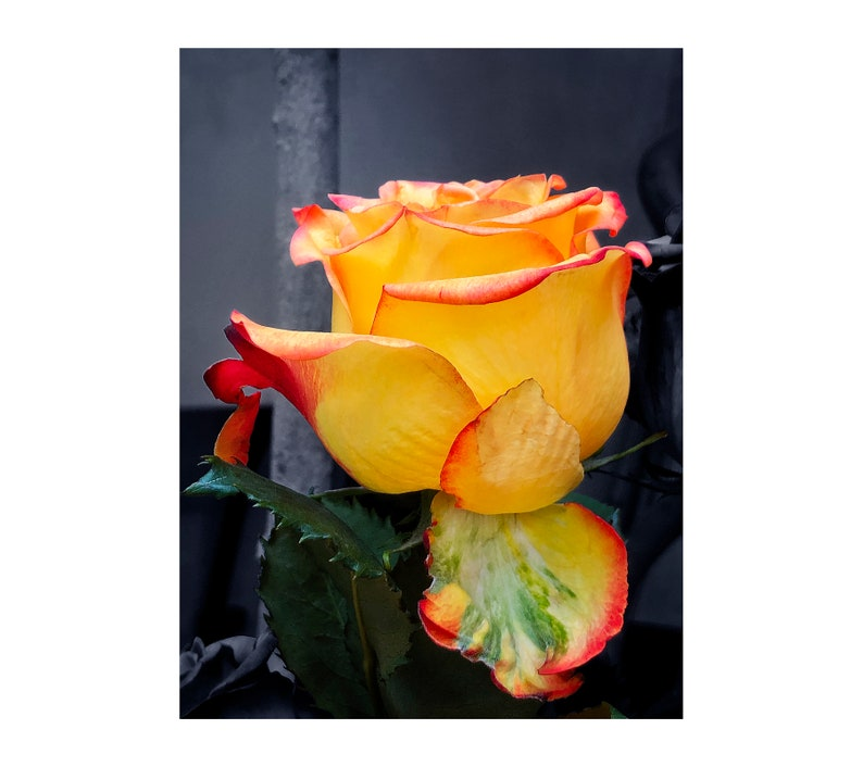Dramatic Colors Rose Photo Perfect Rose Yellow Red image 0