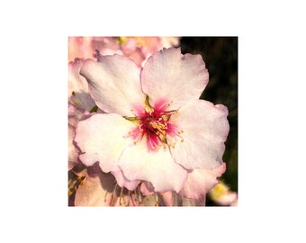Almond Blossom, Floral Photography, Pink White Flower, Spring Bloom