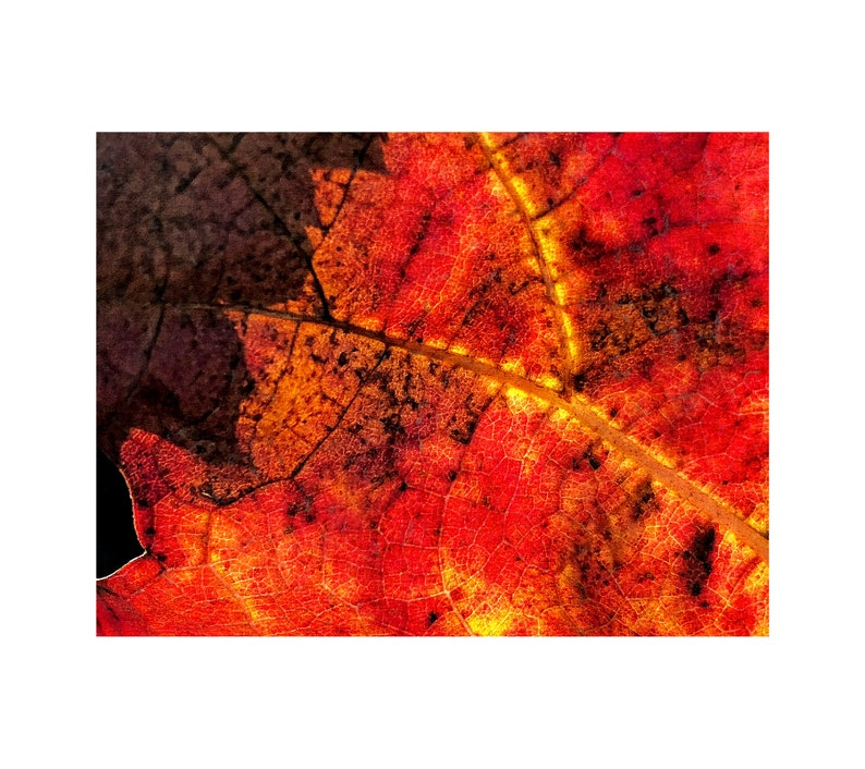 Grapevine Photo Macro Photography Brown Red Gold Autumn image 0
