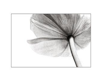 Flower Photo, White Tulip, Black and White Photo, Wedding Decor, Nature Photography, Large Wall Art, Home Decor