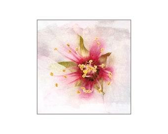 Almond Flower, Macro Photography, Feminine Flower, Soft White Pink, Anniversary Gift