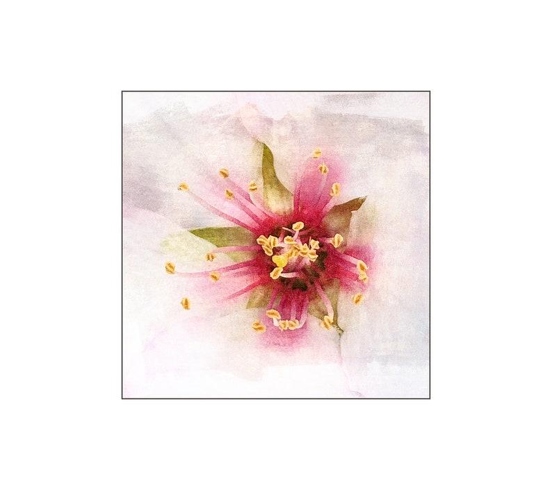 Almond Flower Macro Photography Feminine Flower Soft White image 0