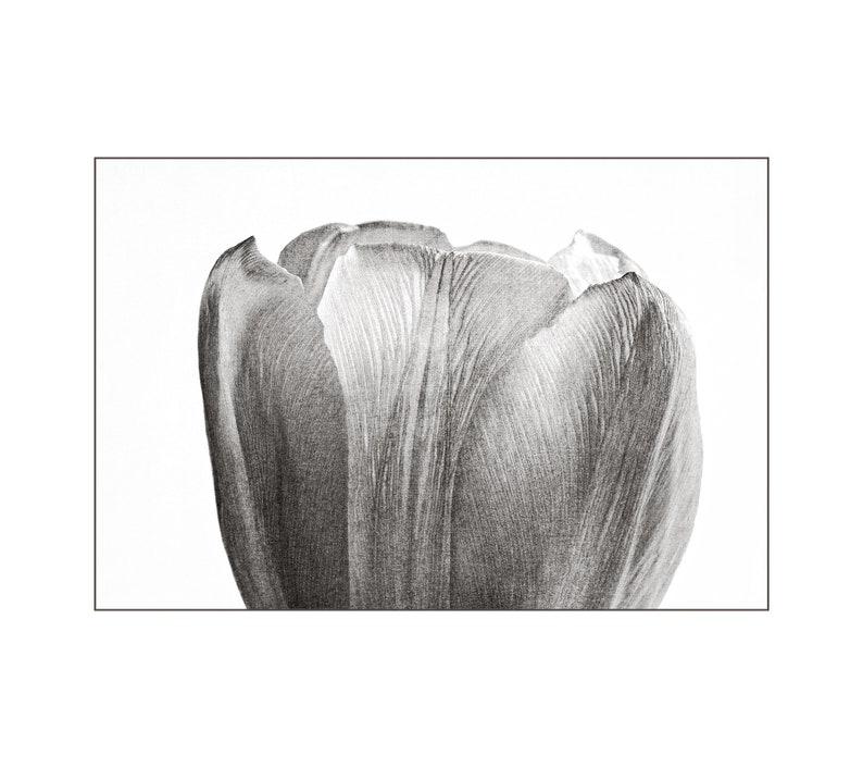 White Tulip Photo Fine Detail Black and White Photo Nature image 0