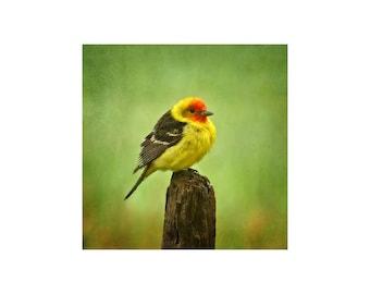 Tanager Photograph, Bird, Wildlife, Western Tanager, Nature Photography, Spring Green