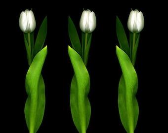 Flower Photography, White Tulips, Flowers, Wedding, White Green Flower Art, Shabby Chic, Garden Decor, Garden Art, Black, Portrait