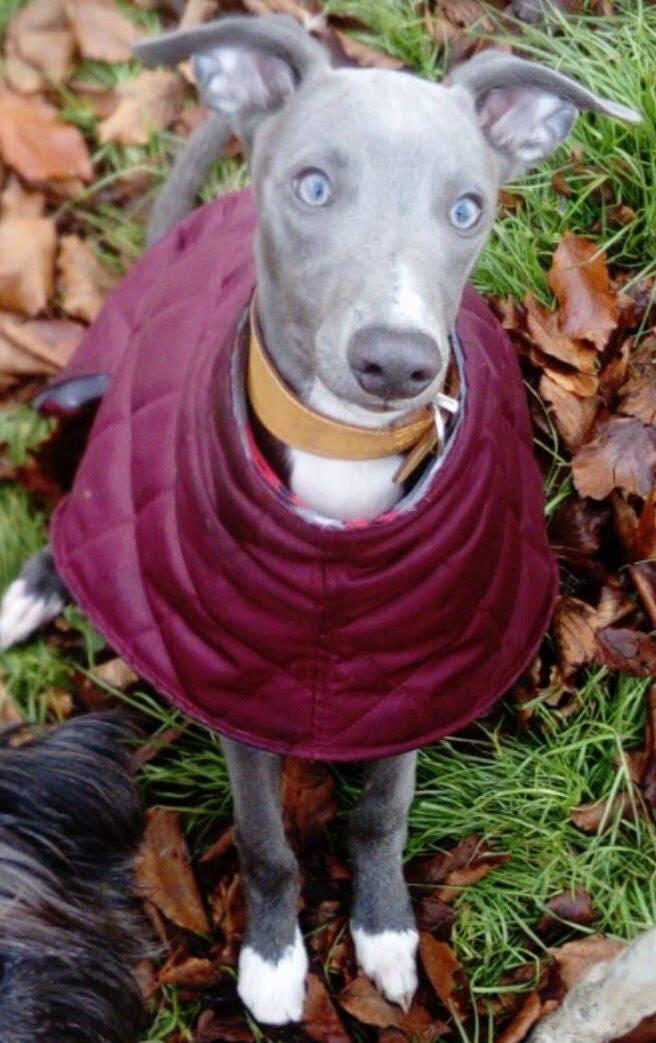 Greyhound And Whippet Waterproof Fleece Lined Coats Ziggy