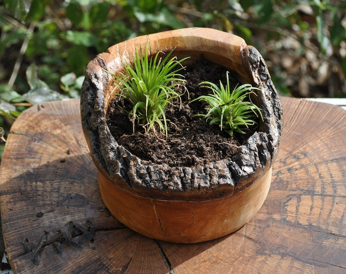 Air Plants with Live Edge planter