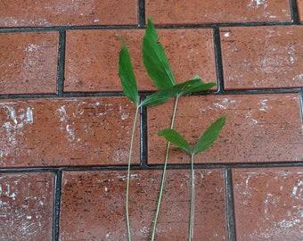 Fishtail Palm Tree / 3 Live SEEDLINGS / Caryota mitis