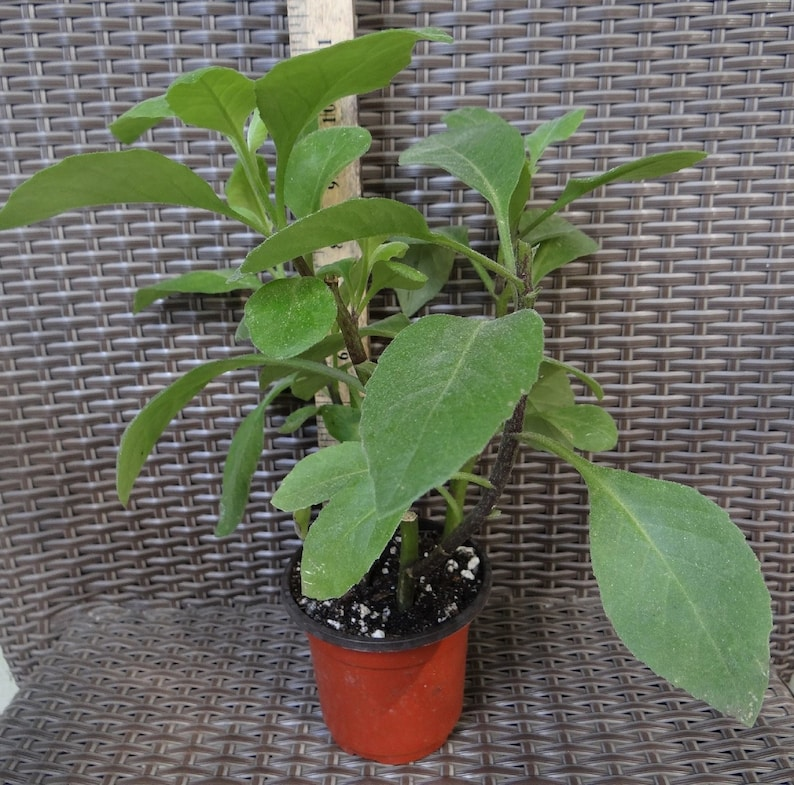 tropical Perennial Edible Plant Cuts 10 Longevity Spinach Gynura procumbens