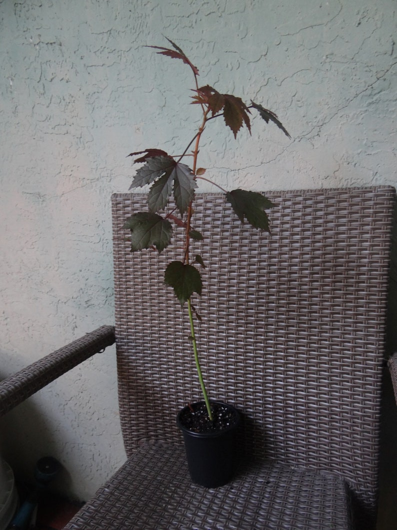Hibiscus Acetosella 1 Live Plant Red Leaf Hibiscus Edible Etsy