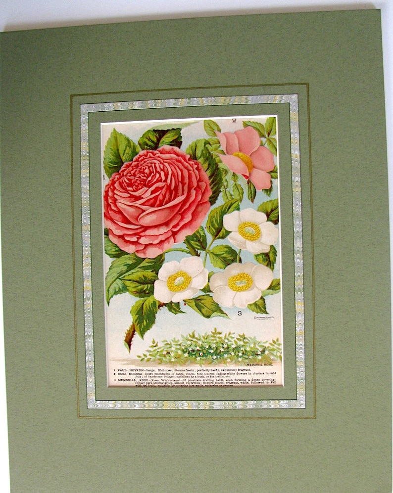 White Acid-Free Decorated Mat Ready to Frame! Trailing Roses Rochester Vintage Catalog Page NY 1880s Vintage Roses Seeds Pink