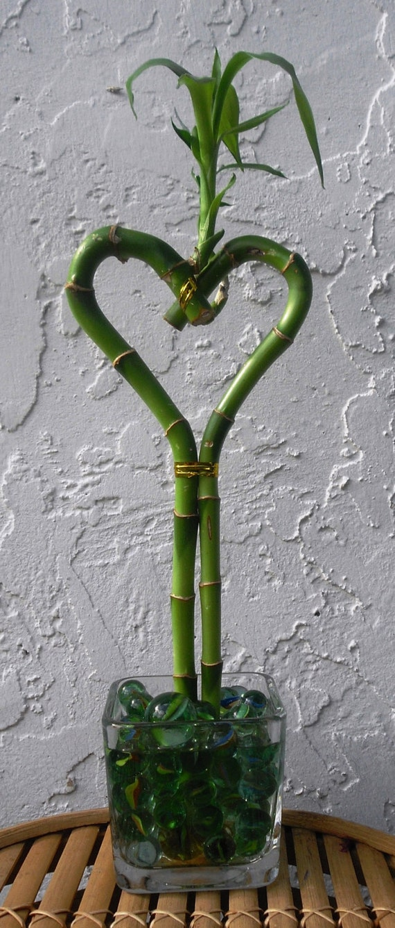 Lucky Bamboo Heart Arrangement In Square Glass Vase With Etsy