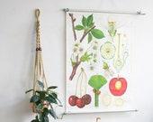 Vintage Botanical Poster Cherry