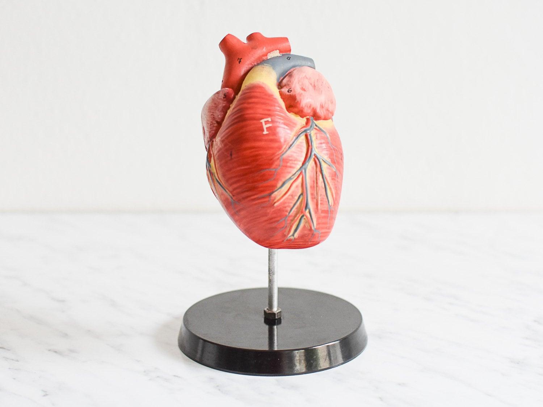 Hundeherz Modell anatomisches Herzmodell Herz Modell Modell | Etsy