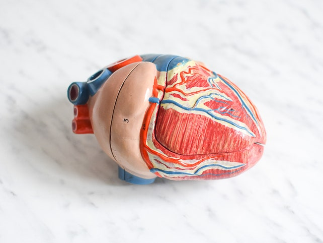 Herzmodell altes Modell Herz menschliches Herz Anatomie | Etsy