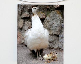 Peahen and Chicks Photograph Print: Albino Peacock Wall Art, Baby Animal Photo, Nature Decor Fine Art, Wildlife Photography, Zoo Peafowl