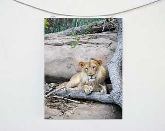 Lion Photograph Print: Zoo Animal Wall Art, African Animal Photo, Nature Decor, Fine Art Wildlife Photography, Nursery Decoration, Mane