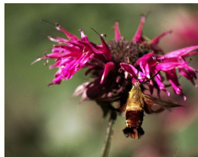 Hummingbird Moth 10