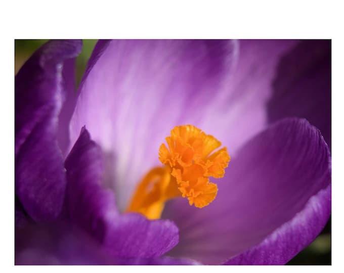 Purple Crocus Detail