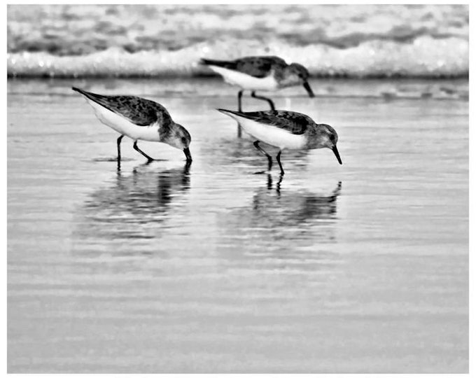 Sandpiper Trio in Black and White