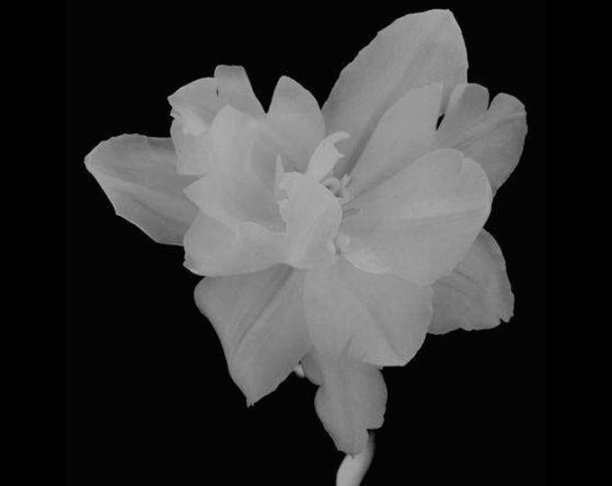 Parrot Tulip in Black and White